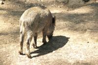 © Foto: Clipdealer / Nutzungsrechte beim Kreis Viersen - Wildschwein