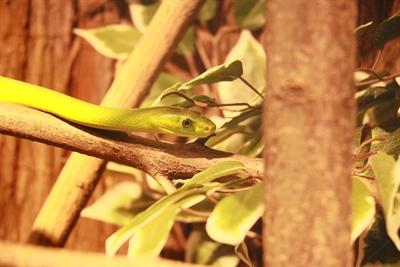 Zart und giftig: Eine Blattgrüne Mamba