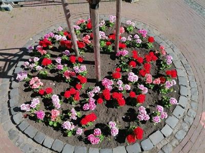 ©  - Eines der mit Geranien bepflanzten Beete auf dem Marktplatz